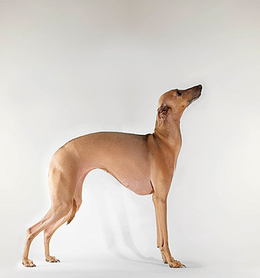 Dog standing on white background - p4294582f by Jens Lucking