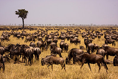 Kenya, Masai Mara.  Wildebeest congregate in their thousands during the migration on the open grassy plains of the Masai Mara - p6521406 by Katie Garrod