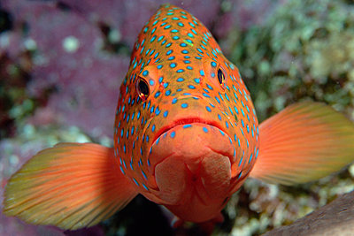 Coral Grouper changes color to match surroundings and mood - p884m864786 by Norbert Wu