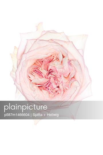 Rose White - p587m1466604 von Spitta + Hellwig