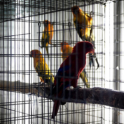 Parrots in birdcage - p1324m1165167 by Michael Hopf