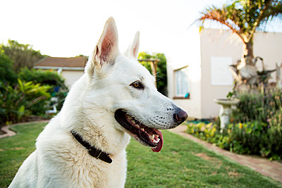 White German Shepherd - p1655m2233674 by lindsay basson