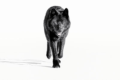 Wolf, black colour phase, typical of the Archipelago Wolf of Southeast Alaska's Inside Passage, Tongass National Forest; Alaska, United States of America - p442m2077653 by John Hyde