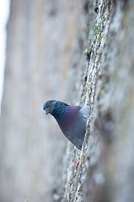 Dove sits in the City wall - p533m2044327 by Böhm Monika