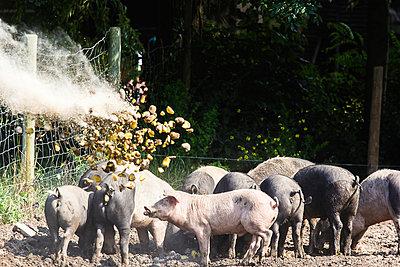 Angler Sattelschweine werden mit Kartoffeln gefüttert - p739m916502 von Baertels