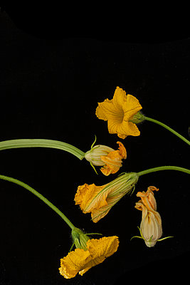 Courgette flowers on black - p1470m1539191 by julie davenport