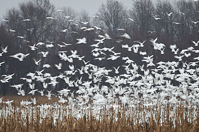 Snow Geese blast off from a field - p1480m2148241 by Brian W. Downs