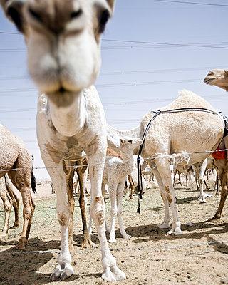 Kamelfarm in Saudi-Arabien - p1542m2204098 von Roger Grasas