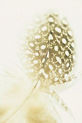 Guinea Fowl feather - p3490841 by Jan Baldwin
