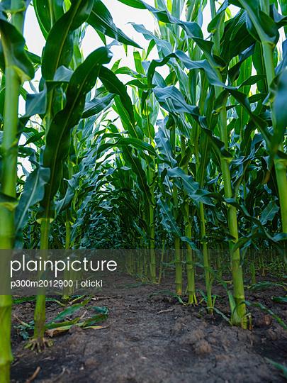 Serbia, Vojvodina. Green corn stems in a row, Zea mays - p300m2012900 von oticki