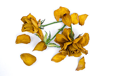 Dry rose - p1562m2254539 by chinch gryniewicz
