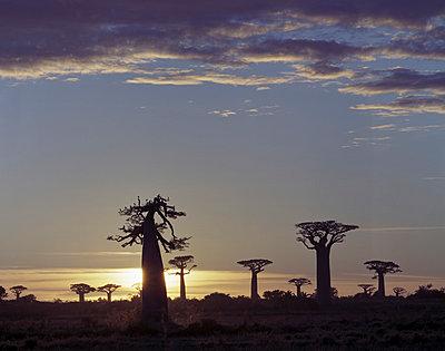 Baobabs auf Madagaskar - p1016m792555 von Jochen Knobloch