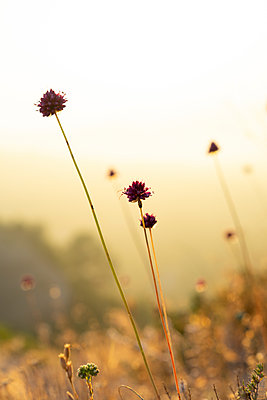 Spain, Catalonia, Grasses on Montcau at sunset - p300m2012322 von VITTA GALLERY