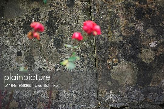 Rosenwand - p1164m956365 von Uwe Schinkel