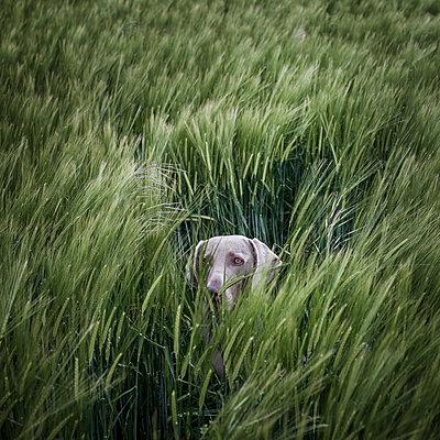 Hund versteckt sich im Feld - p1168m1525807 von Thomas Günther