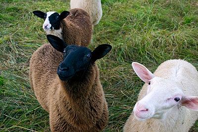 Various sheep - p1199m1004392 by Claudia Jestremski