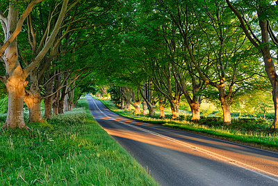Tree lined road near Wimborne, Dorset, England, UK - p300m2083931 by Martin Rügner