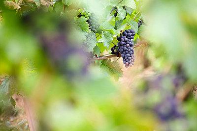 Wine grapes growing in vineyard - p301m2149031 by Marc Volk