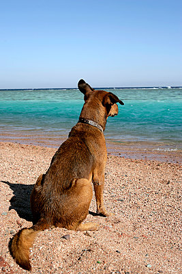 A Dog Watching The Windsurfing Action At Dahab On Egypts Sinai Peninsular. - p442m967730 by Toby Adamson
