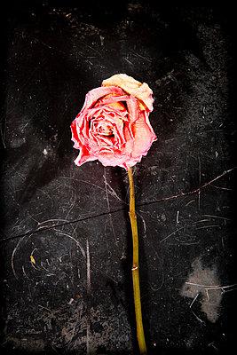 Dry rose - p451m814749 by Anja Weber-Decker
