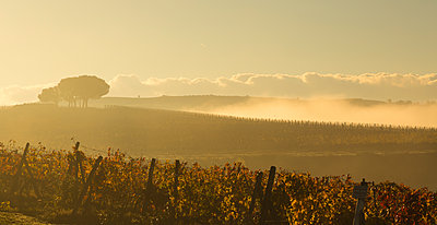 Italy, Tuscany, Val d'Orcia, landscape with vineyard in morning fog - p300m1205690 by Christina Falkenberg