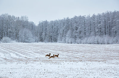 Deer running through winter field - p312m1024872f by Jan Tove