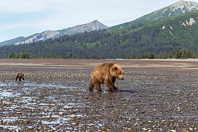 Mother and young bears - p745m889535 by Reto Puppetti