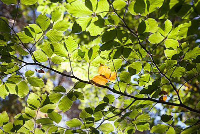 Close-up of trees leaves in forest during autumn - p1166m2066605 by Cavan Images