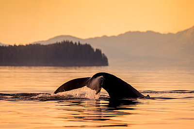 Humpback whale (Megaptera novaeangliae) in Lynn Canal with Coast Range in the background, Southeast Alaska; Alaska, United States of America - p442m2074292 by John Hyde