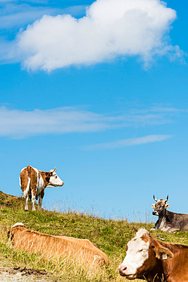 Cow on mountain pasture - p488m938571 by Bias