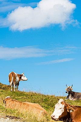 Kühe auf der Alm - p488m938571 von Bias