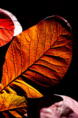 Brightly coloured leaves backlit by the autumn sun showing the leaf structure, veins and texture. - p1057m2134635 by Stephen Shepherd