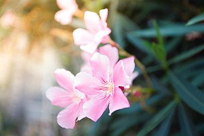 Blossoming oleander - p300m1129906f von Annie Hall