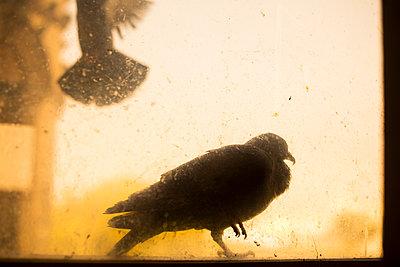 Close-up Of Dove Bird On Outside Window    - p847m1102440 by Johan Strindberg