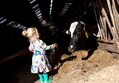 Little girl in cow barn - p896m835712 by Anke Teunissen