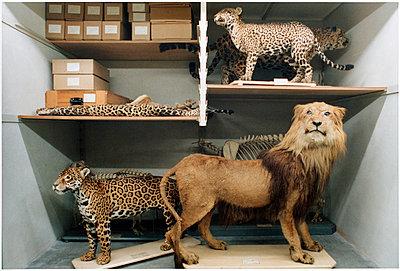 Wildkatzen - p1205m1020917 von Annet van der Voort