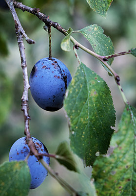 Plums - p1229m2015396 by noa-mar