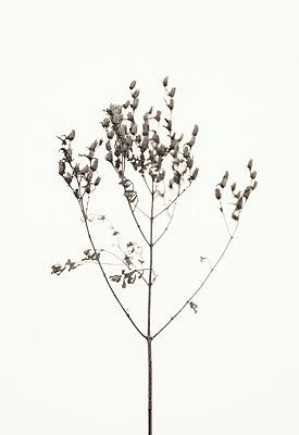 Grass against white background - p1335m1222576 by Daniel Cullen