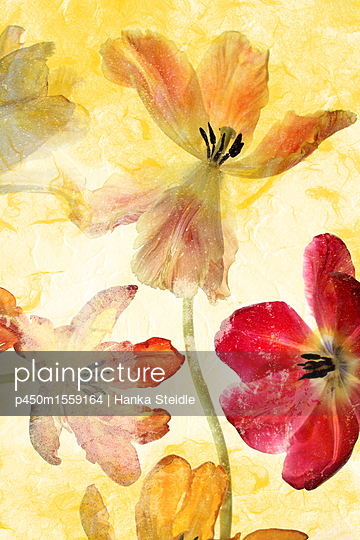 Tulpen  - p450m1559164 von Hanka Steidle