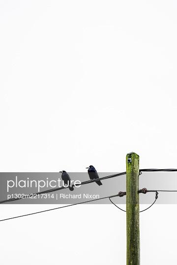 Two Rooks sitting on a power line  - p1302m2217314 von Richard Nixon