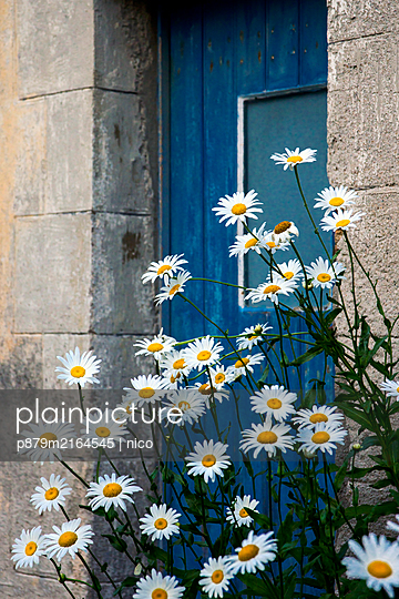 Flowering daisies in front of a blue door - p879m2164545 by nico