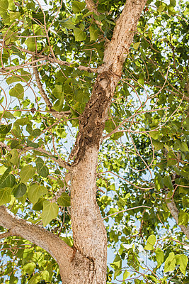 Wespennest an einem Baum - p728m2284996 von Peter Nitsch