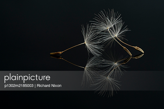Three Dandelion seeds on a black reflective surface - p1302m2185003 by Richard Nixon