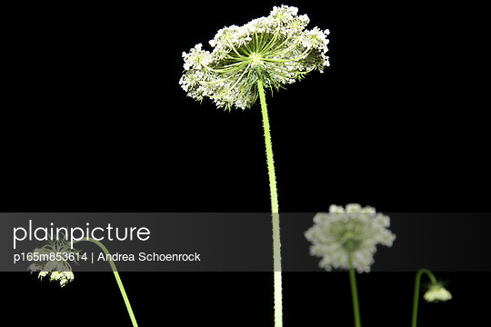 Wild carrot at night - p165m853614 by Andrea Schoenrock