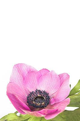 Anemone - p1470m1559280 von julie davenport