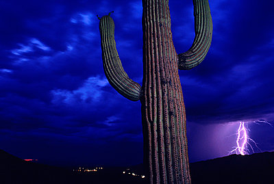 Lightning strikes on horizon near cactus in Saguaro National Park, Arizona. - p343m1021150f by Peter Essick