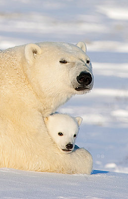 Polar Bear female with twelve week old cub - p884m864571 by Matthias Breiter