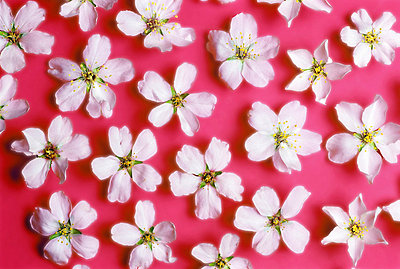 Almond blossoms - p8850156 by Oliver Brenneisen