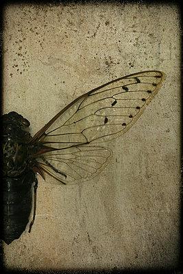 Asiatische Zikade - Pomponia intermedia - p1028m984226 von Jean Marmeisse