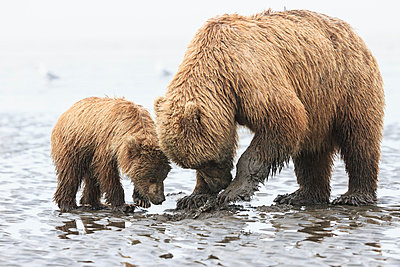 USA, Alaska, Lake Clark National Park and Preserve, Brown bear and bear cub (Ursus arctos), foraging mussels - p300m911237f by Fotofeeling